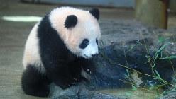 一般公開が始まったジャイアントパンダの赤ちゃん、シャンシャン(上野動物園で2017年12月19日、代表撮影)