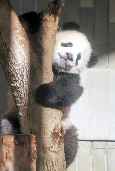一般公開を前に関係者にお披露目されたジャイアントパンダの子どものシャンシャン=東京都台東区の上野動物園で2017年12月18日午前11時37分(代表撮影)