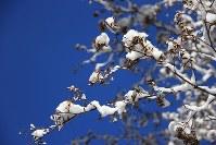枝に雪が積もったカエデ=長野県信濃町で7日、C・W・ニコル・アファンの森財団提供