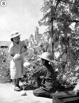 被爆から1年の広島市内の菜園でのカボチャの収穫。深刻な食糧危機に対し、広島県・広島市などは、焼跡を利用したカボチャ、ナス、トマトなどの栽培を呼びかけ、苗の配分やカボチャの品評会を開催した。画面中央奥に中国新聞社新館、広島流川教会。左端は再建された幟町小学校の校舎(1946年7月15日竣工)と思われる=広島市上流川町(現広島市中区鉄砲町)で1946年7月24日ごろ