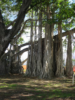 A Bunyan tree, a common sight in Honolulu, is pictured on Nov. 13, 2017.