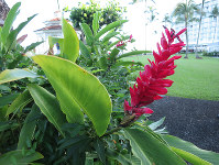 A red ginger flower blooms along a path on a tranquil morning at Grand Naniloa Hotel Hilo on the island of Hawaii on Nov. 17, 2017. (Mainichi)