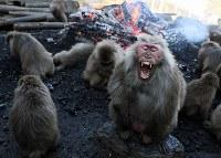 たき火にあたって暖をとるヤクニホンザル愛知県犬山市の日本モンキーセンターで2017年12月21日、兵藤公治撮影
