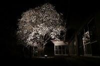 あるじの居ない民家の庭先で咲き、ライトアップされるモクレン=福島県富岡町で2017年4月8日、小出洋平撮影