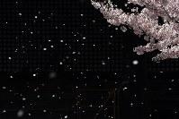 風に舞うソメイヨシノの花びら=京都市上京区の立本寺で2017年4月14日午後2時28分、小松雄介撮影