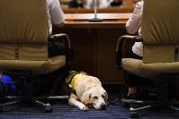 「ほじょ犬の日」啓発シンポジウムで、パネリストの郡司ななえさんの足元で寝そべる盲導犬のウラン=東京・永田町で2017年5月22日、中村藍撮影