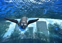 リニューアルされた屋外エリアの水槽で頭上を飛ぶように泳ぐペンギン=東京都豊島区のサンシャイン水族館で2017年7月5日午前10時50分、宮間俊樹撮影