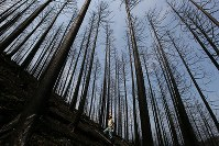 5月に発生した大規模な山林火災か焼け残ったスギ=岩手県釜石市で2017年7月11日、小出洋平撮影