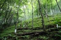 御巣鷹の尾根の中腹付近。32年の年月を経て草木が生い茂った急斜面には、犠牲者の銘標が点在する。日航ジャンボ機墜落事故は「弔い上げ」とされる三十三回忌を迎える。=群馬県上野村で2017年7月28日午後0時26分、喜屋武真之介撮影