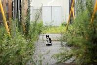 住民が減り、雑草の生い茂った開成仮設団地で暮らす猫=宮城県石巻市で2017年8月24日、喜屋武真之介撮影