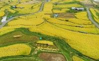 黄金色に色づいた「姨捨の棚田」=長野県千曲市で2017年9月20日、小型無人機で後藤由耶撮影