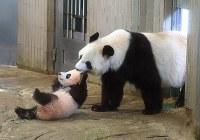 一般公開が始まったジャイアントパンダの子ども、シャンシャン(左)と母親のシンシン=東京都台東区の上野動物園で2017年12月19日午前10時16分(代表撮影)