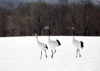 厳しい冬を共に過ごすタンチョウの親子=北海道鶴居村で、アルパインツアーサービス・石田光史さん撮影