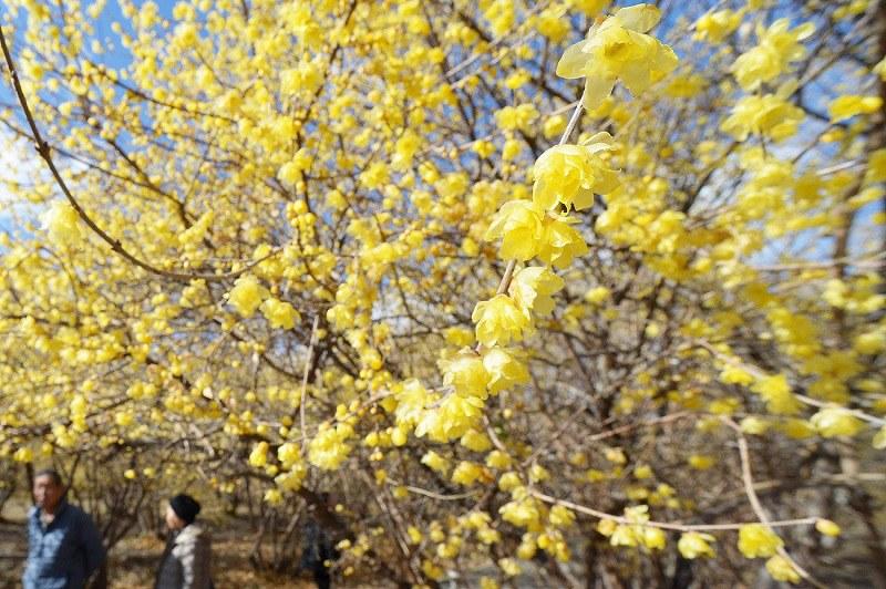 安中・ろうばいの郷:黄色い花と...