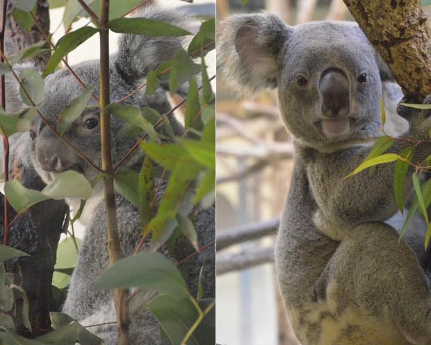 多摩 動物 公園 コアラ