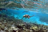 1月15日、オーストラリアのグレートバリアリーフで、気温上昇のためアオウミガメが雌で生まれてくる確率が上がり、種が自然消滅する危険が高まっているとの調査が発表された。写真は2015年6月撮影(2018年 ロイター/David Gray)