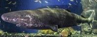オンデンザメ=沼津港深海水族館提供