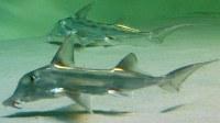 ゾウギンザメ=沼津港深海水族館提供