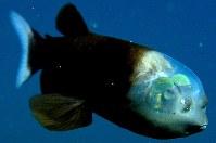 デメニギス=米モントレー湾水族館研究所提供