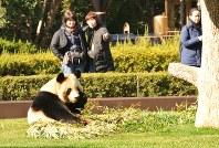 竹を食べるジャイアントパンダの良浜=和歌山県白浜町のアドベンチャーワールドで、倉田陶子撮影