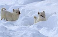 雪の上でも元気に駆け回る北海道犬の子犬=札幌市白石区で2018年1月7日、梅村直承撮影