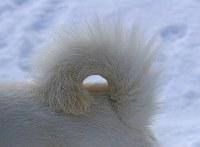 くるりと丸まった尾っぽ。500円玉が入るくらいの尾がいいとされる=札幌市白石区で2018年1月7日、梅村直承撮影