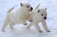 昨年11月末に生まれた北海道犬のオス2匹。雪の上でも元気に駆け回る=札幌市白石区で
