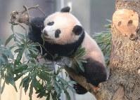 ジャイアントパンダのシャンシャン=東京都台東区の上野公園で2018年2月1日午前9時37分、長谷川直亮撮影