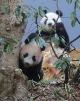 ジャイアントパンダのシャンシャン(手前)と母親のシンシン=東京都台東区の上野動物園で2018年2月1日午前9時4分、長谷川直亮撮影