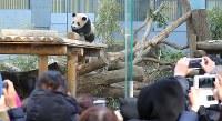 大勢の入園者の前で遊ぶジャイアントパンダのシャンシャン=東京都台東区の上野動物園で2018年2月1日午前9時51分、長谷川直亮撮影