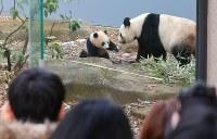 ジャイアントパンダのシャンシャン(左)とシンシン=東京都台東区の上野動物園で2018年2月1日午前10時20分、長谷川直亮撮影