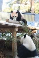 屋外放飼場で遊ぶジャイアントパンダのシャンシャン(上)と母親のシンシン=東京都台東区の上野動物園で2018年1月29日午前8時58分、東京動物園協会提供