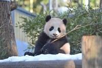 枝で遊ぶジャイアントパンダのシャンシャン=東京都台東区の上野動物園で2018年1月29日午前9時47分、東京動物園協会提供