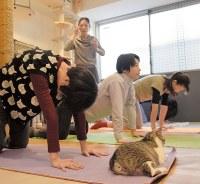 リラックスする猫の前で猫ヨガに取り組む女性たち=東京都豊島区の「ネコリパブリック東京池袋店」で