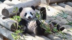 屋外放飼場で寝ころぶ上野動物園のシャンシャン(2018年2月5日、東京動物園協会提供)