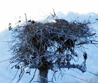 巣で伏せているコウノトリ。産卵した可能性が高い=徳島県鳴門市で、コウノトリ定着推進連絡協議会の浅野由美子さん提供