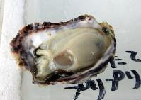 取れたてのカキをそのままパクリ。さっぱりした味で、フルーティーな甘みが口に広がる=兵庫県赤穂市の坂越湾で、福家多恵子さん撮影