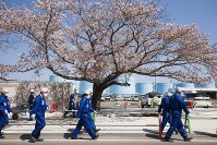 簡易マスク姿で敷地内に咲く桜の下を歩く作業員たち=2016年4月、東京電力提供、西澤丞さん撮影