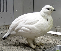 富山市ファミリーパークで飼育中の雌のライチョウ=同パーク提供