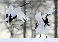 雪中を舞うタンチョウ=北海道鶴居村で2018年1月31日、梅村直承撮影