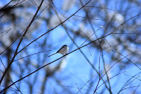 葉を落とした小枝にとまるエナガ=長野県信濃町で7日、C・W・ニコル・アファンの森財団提供