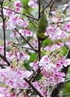 開花したヒカンザクラにメジロも集まってきた=鹿児島県大島郡龍郷町で2018年1月10日、神田和明撮影