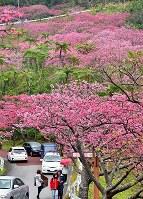 満開を迎えて八重岳の山肌をピンク色に染める琉球寒緋桜=沖縄県本部町で2018年1月28日、野田武撮影