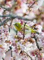 早咲きの桜の枝に止まるメジロ=和歌山県那智勝浦町で2018年2月3日、平川義之撮影