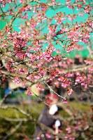 鮮やかなピンクの花を咲かせ始めた河津桜=愛媛県今治市野間で2018年1月31日、松倉展人撮影