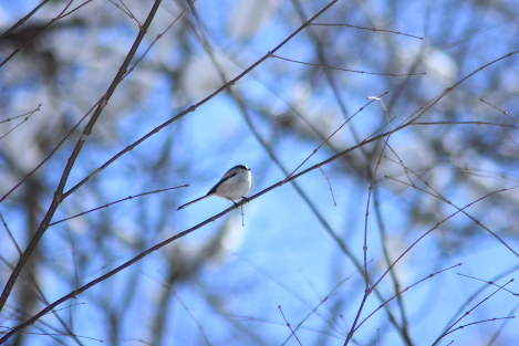 A long-tailed tit. (Photo courtesy of the C. W. Nicol Afan Woodland Trust)