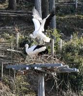 電柱の上で巣作りを始めたコウノトリの「げんきくん」(上)と「ポンスニ」=島根県雲南市で2018年2月23日、山田英之撮影