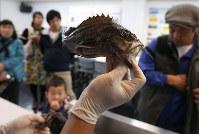水族館「アクアマリンふくしま」で開催されたイベントで、富原聖一獣医師(61歳・右)が原発沖3キロ圏内で採取したマゾイを見学者に掲げる。原発周辺の魚の放射線量調査では「あまり移動せず、長生きするマゾイには注目している」と話す=福島県いわき市で2017年11月19日、小出洋平撮影