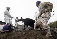 飼い主の依頼で牛の安楽死の処置を始める「原発事故被災動物と環境研究会」事務局長で岩手大農学部の岡田啓司教授(61歳・右端)ら。この後、放射線被ばく影響の研究のため解剖された=福島県大熊町で2017年4月9日、小出洋平撮影