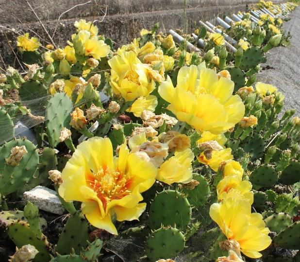 強い日差しを浴びて咲くサボテンの花=2014年6月13日、山本紀子撮影